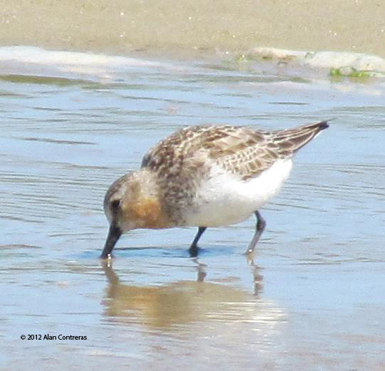 ABArare Red-necked Stint Oregon