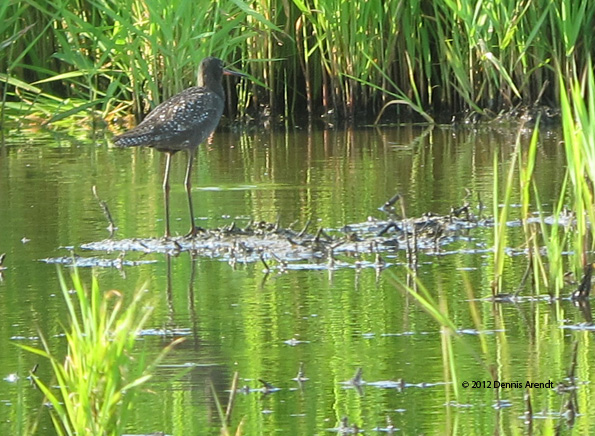 ABArare Spotted Redshank spre 07a