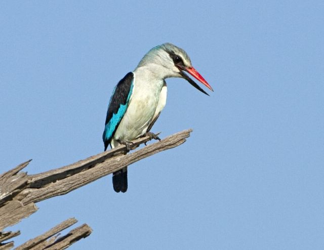 Woodland kingfisher BINNS IMG_3486 copy