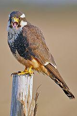 160px-Aplomado_Falcon_portrait