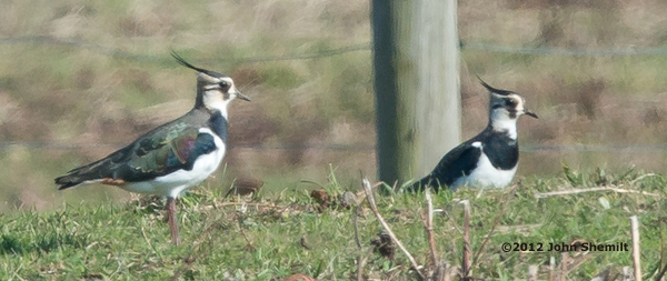 ABArare Northern Lapwing shemilt NY 02