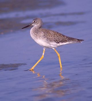 Greater Yellowlegs (San Luis Pass)