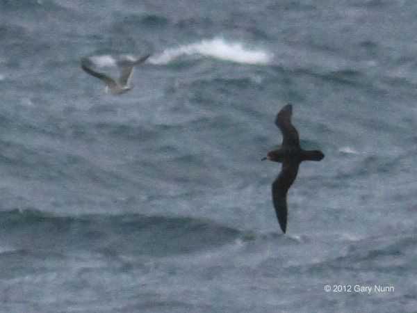 ABArare Great-winged Petrel 01