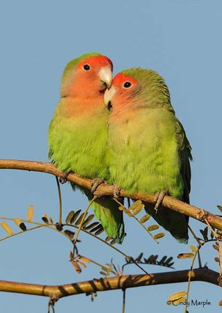 12-6-01-01 [Rosy-faced Lovebird]