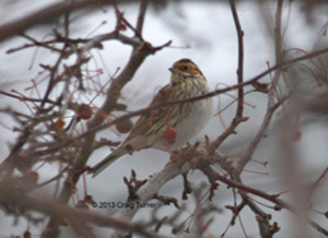ABArare Little Bunting 01_300