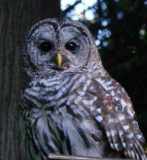 Barred Owl 2 - Ann Nightingale