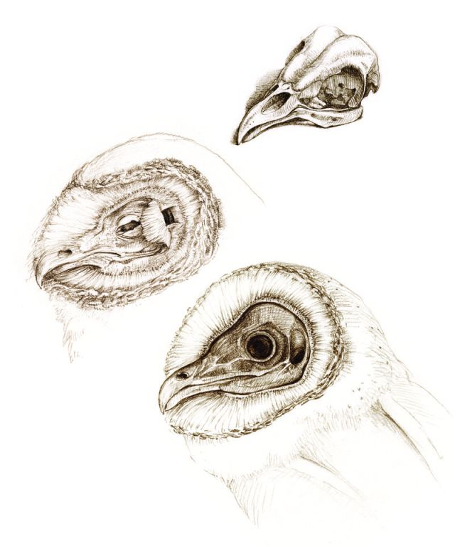 Barn owl heads