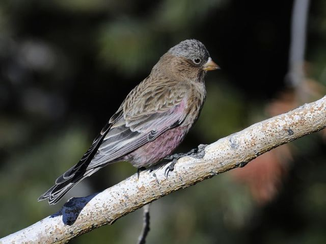 13-2-10-02 [Brown-capped Rosy-Finch]