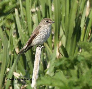 Gray-streaked-Flycatcher_0814