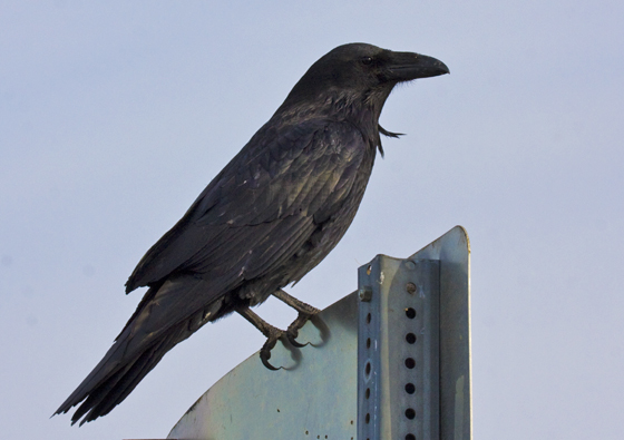 Common_Raven_Nome, AK_6-21-2010_GLA_0070