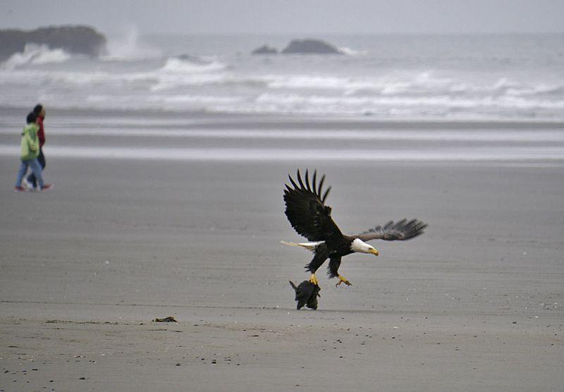 Bald Eagle Eats Whale! « ABA Blog