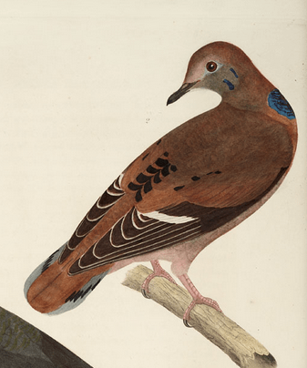 Alexander Rider, in Bonaparte, American Ornithology (1828)