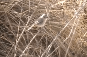 This quiz bird is a Gray Flycatcher. Image from video made by (c) Rick Thompson.