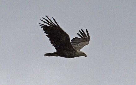 White-tailed Eagle. Photo by Greg Neise.