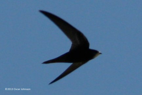 Common Swift. Photo by Oscar Johnson.