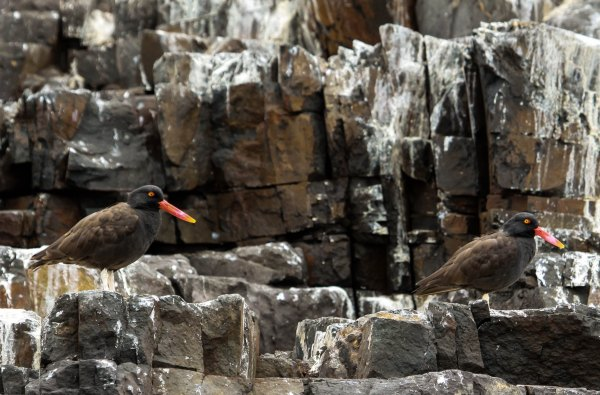 Blackish Oystercatcher, photo by Elis Simpson