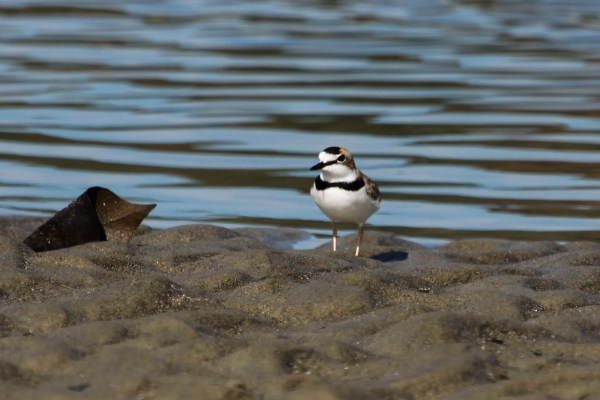 Collared Plover, photo by Elis Simpson
