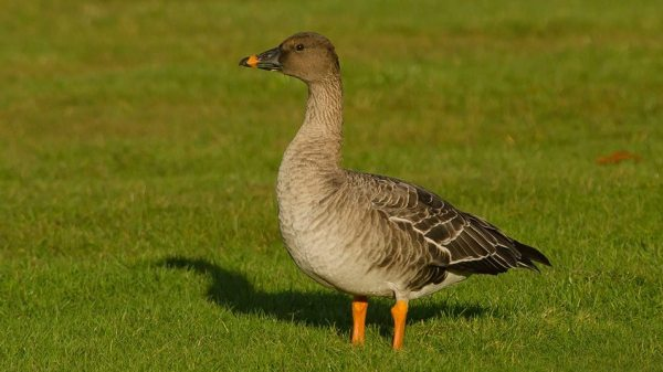 Bean Goose sp in Yarmouth, NS, photo by Ronnie Dentremont