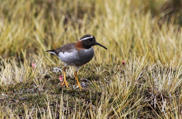 Diademed Sandpiper Plover, photo by Elis Simpson