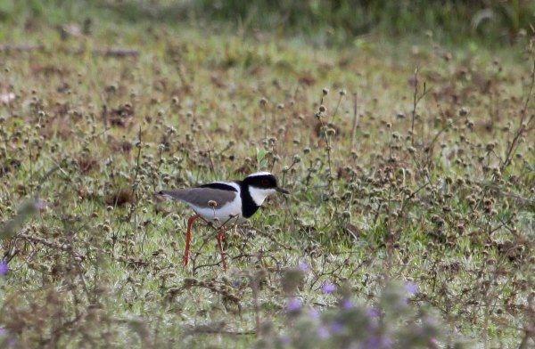 Pied Lapwing, photo by Elis Simpson