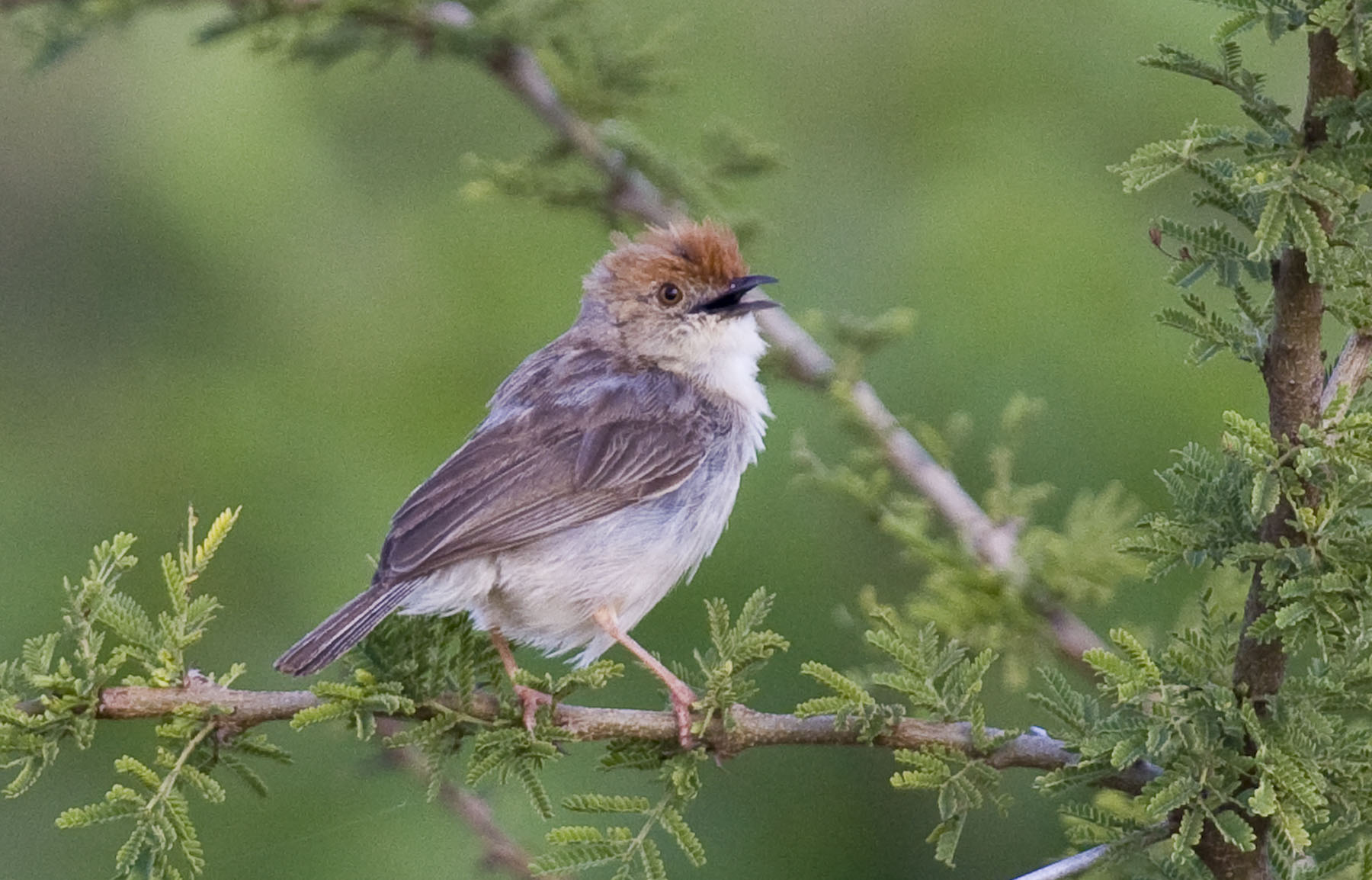 One Of Africas Many Well Named And Dull Plumaged Cisticolas A Tiny Cisticola
