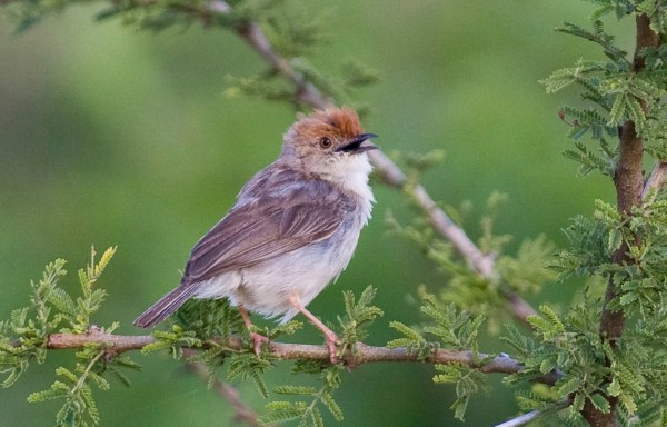 One of Africa's many well-named and dull-plumaged cisticolas, a Tiny Cisticola in Ethiopia. (Photo by G. Armistead)