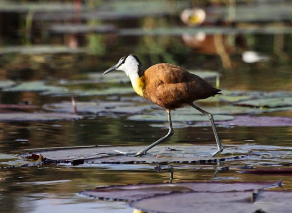 African Jacana, photo by Ellis Simpson