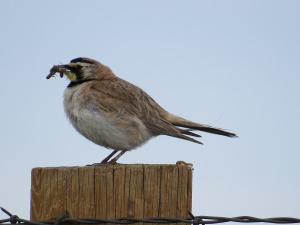Horned Lark at Pawnee National Grasslands, Colorado. (Photo by Jennie Duberstein)