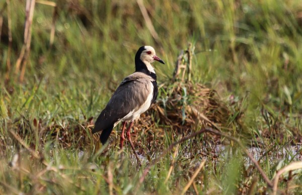 Long-toed Lapwing, photo by Ellis Simpson