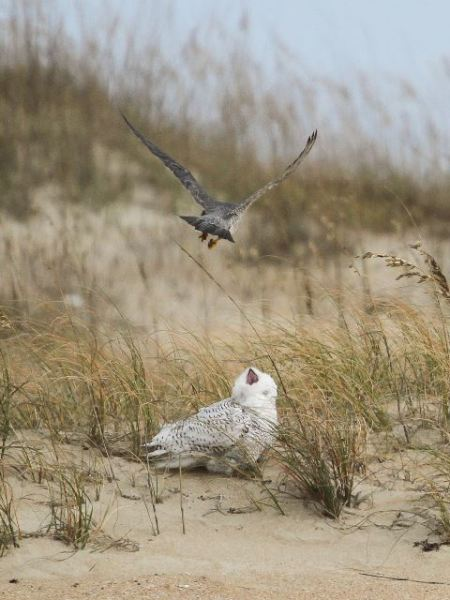 This Snowy at Cape Point at Cape Hatteras, North Carolina also had a close encounter with a Peregrine.  (Photo © Jeff Lewis)