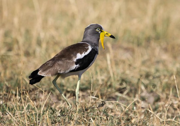 White-crowned Lapwing, photo by Ellis Simpson