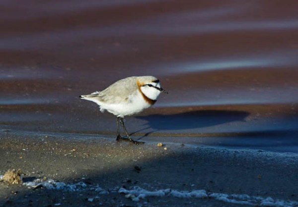 Chestnut-collared Plover, photo by Elis Simpson