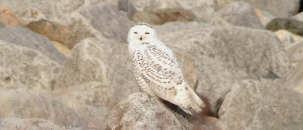 This Snowy Owl at Cape Ann was one of 10 we saw through the course of our 3 days of birding coastal Massachusetts and Rhode Island. (Photo © Jeff Gordon)