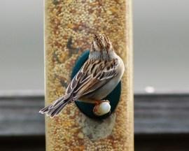 14-1-10-03 [Clay-colored Sparrow]