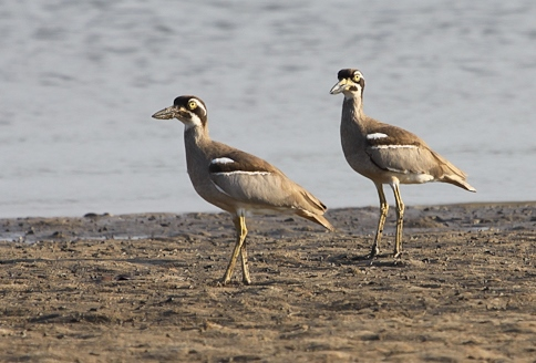 Beach Stone-Curlew, photo by Elis Simpson