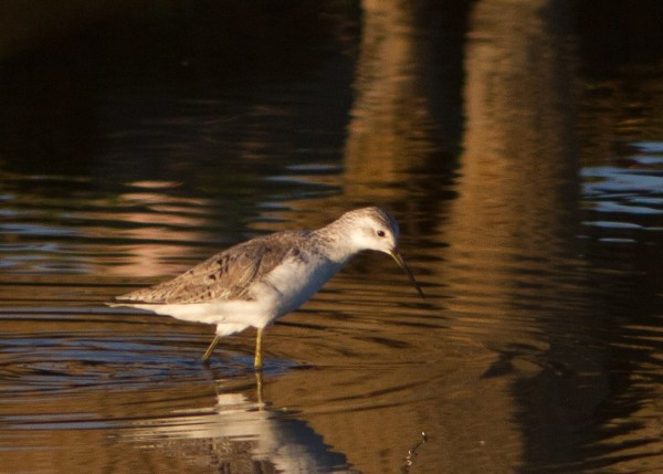 Marsh Sandpiper sp14b