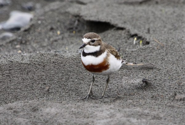 Double-banded Plover, photo by Elis Simpson
