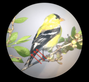 d - goldfinch
