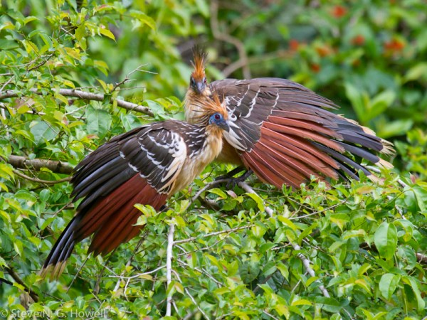 Hoatzin is one of the legendary birds of the Amazonian tropics. Photo by Steve Howell, taken during the 2013 southern route birding rally.