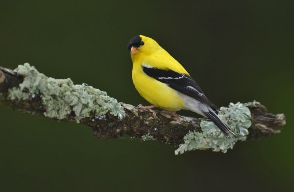 American Goldfinch, Burnett County, Wisconsin, 19 June 2014.  Photo © Bill Schmoker