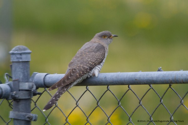 Gray morph Common Cuckoo