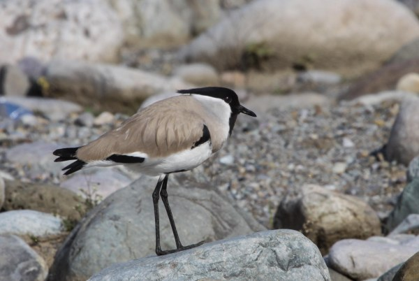 River Lapwing, photo by Elis Simpson