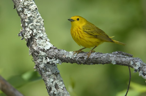Yellow Warbler, Burnett County, Wisconsin, 21 June 2014.  Photo © Bill Schmoker