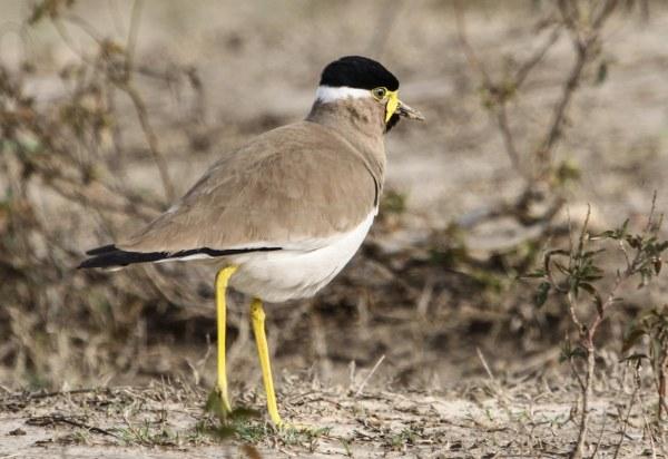 Yellow-wattled Lapwing, photo by Elis Simpson