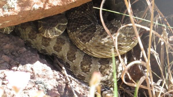 Prairie Rattlesnakes. (Photo by Jennie Duberstein)