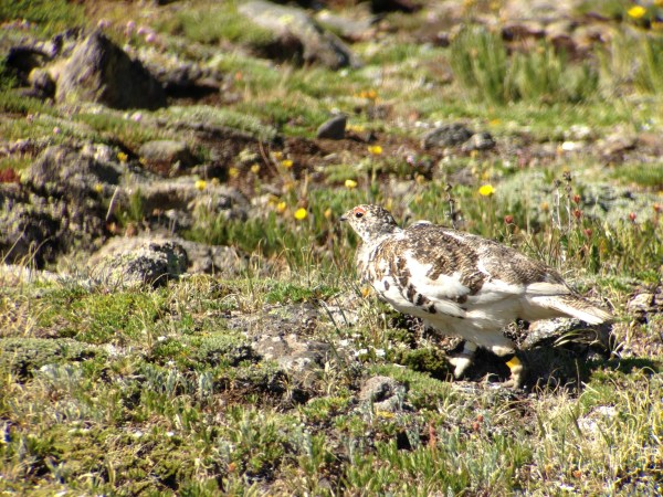 White-tailed Ptarmigan digiscoped with Leica APO-Televid 65 mm scope, iPhone 5, and Phone Scope adapter.