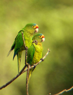 Orange-fronted Parakeets near Puerto Escondido, Oaxaca, Mexico. Photo by Michael Retter,
