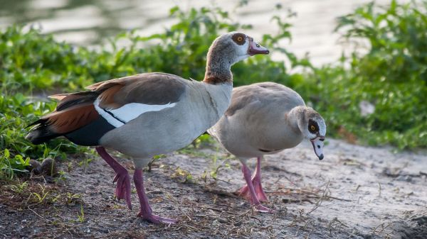 Egyptian Goose nests