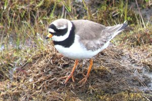 Common Ringed Plover, taken with an iPhone through a Swarovski spotting scope.