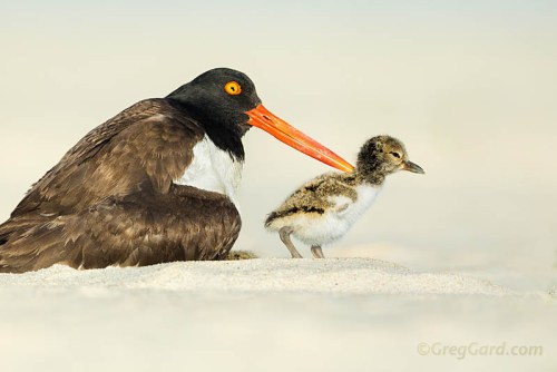 American Oystercatcher and chick/Photo by Gregory Gard via Flickr Creative Commons